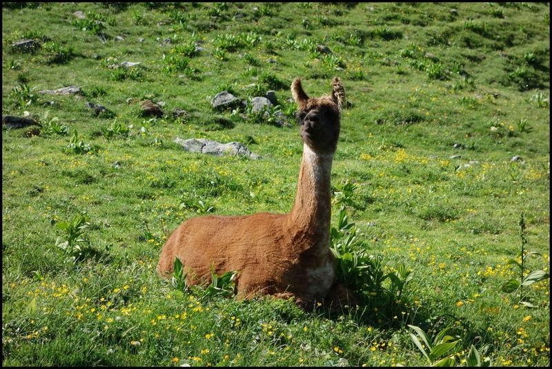 Oui, y'a des lamas dans les Alpes.